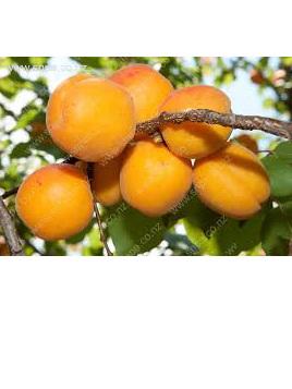Apricots Sun Drop Sweet Certified Organic 500g