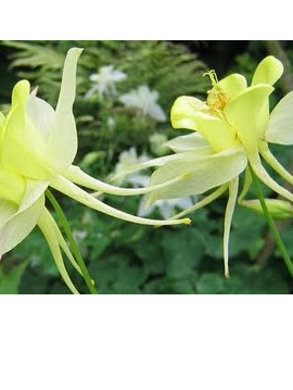 Aquilegia chrysantha 'Green Queen'