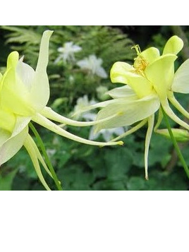 Aquilegia chrysantha 'Yellow Queen'