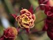 Aquilegia vulgaris 'Winky'