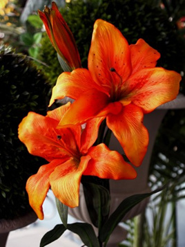 Lily  Asiatic  Red 1879 Orange 1880