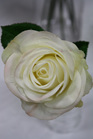 Rose pick cream 4274