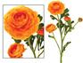 Ranunculus Orange 1921