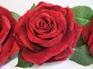 Velvet Rose on clip 1463