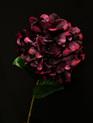 Hydrangea Stem Wine 4172