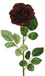 Rose Chelsea full bloom 1920
