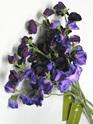 Sweet Pea Purple 4279