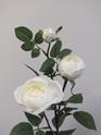 Rose Climbing White 1815