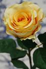 Rose Chelsea Yellow 4270