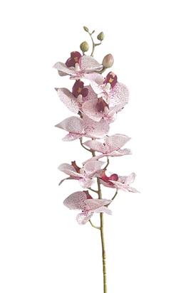 Orchid Phalaenopsis 4313