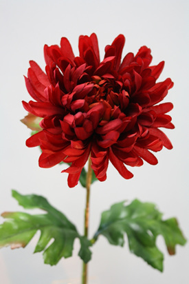 Chrysanthemum 4147