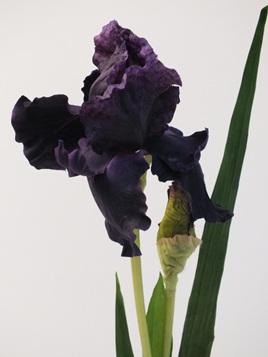 Iris Dark Purple 4221