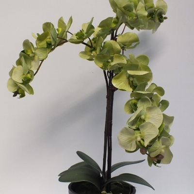 Phalenopsis in Charcole bowl 2224