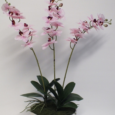 Phalaenopsis in cream container 2228