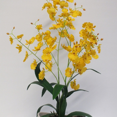 Dancing Lady Orchid 2227