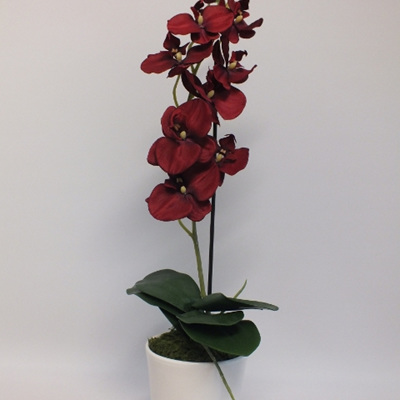 Phalaenopsis orchid red in white container 2095
