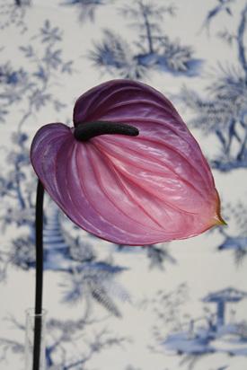 Anthurium Pink Purple 4391