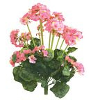 Geranium bush Pink Large 1849
