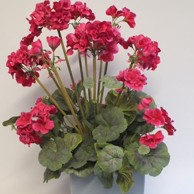 Geranium potted - 2101-3 Grannys Favourite