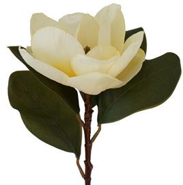 Magnolia Grandiflora cream 1898