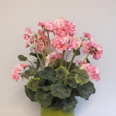 Geranium potted - 2101-3 Grannys Favourite