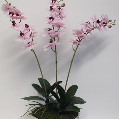 Phalaenopsis in cream container 2228