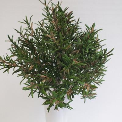 Rosemary bush 4435