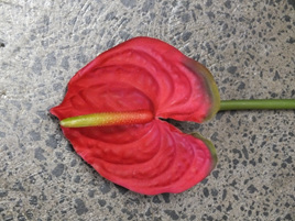 Anthurium Red 4089