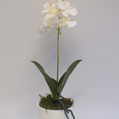 Phalaenopsis in a white ceramic container 2096