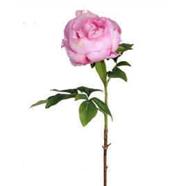 Peony Duchess dark pink 4475