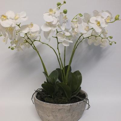 Phalaenopsis Orchids in Whitestone  2193