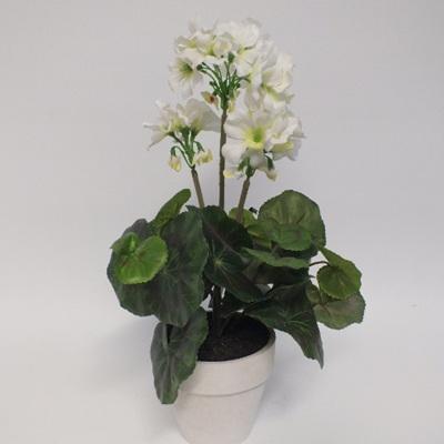 Geranium Plant in pot 1450