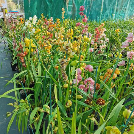Assorted 6 Cymbidium orchid pot plants