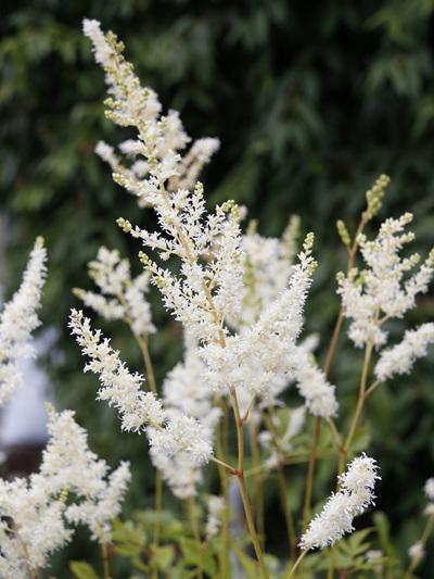 Astible straussenfeder White