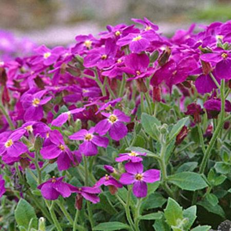 Aubrieta Fuchsia