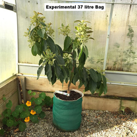 Bacon Avocado Tree in 37 Litre EverGrow Bag