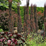 Berberis thunbergii Helmond Pillar