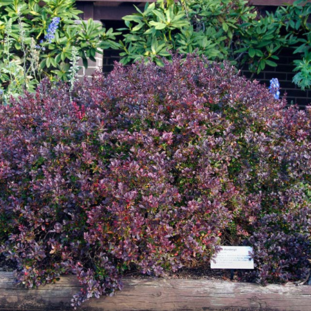 Berberis thunbergii Little Favourite