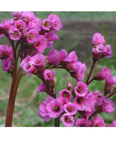 Bergenia 'Dwarf Pink'