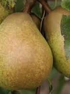 Biogro Certified Organic Eating Pears - 1 Kg