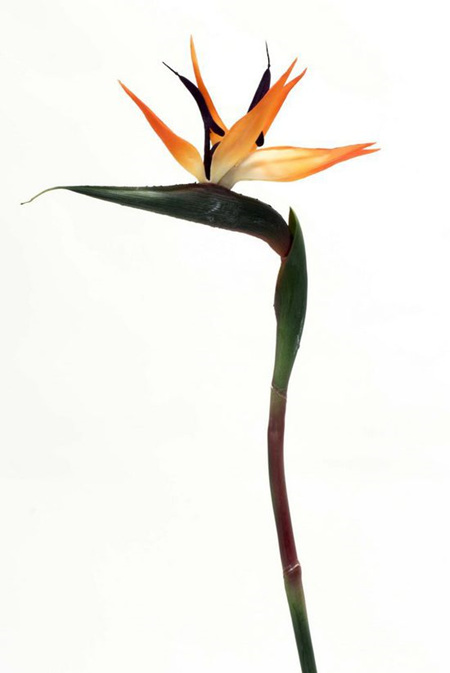 Bird of Paradise  4530 Orange dark red