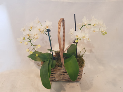 Bloomers mini orchid basket