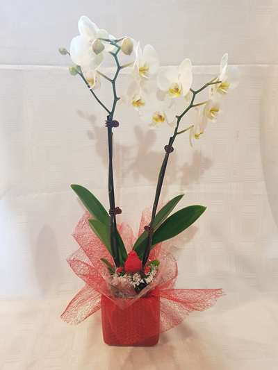 Bloomers Xmas Orchid Plant