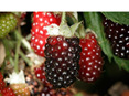 Boysenberry Mapua