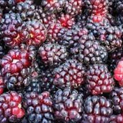 Boysenberry Tasman