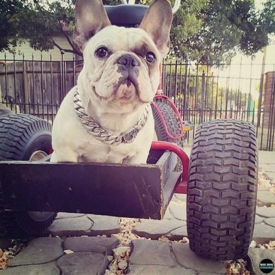 Caesar Large Cuban Link Dog Collar by Big Dog Chains