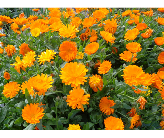 Calendula flowers at Lavender Magic