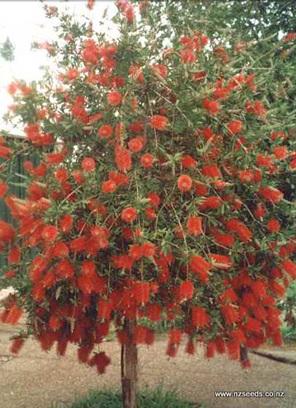Callistemon citrinus