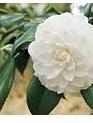 Camellia Oil - 100mls