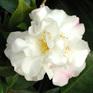 Camellia Scentuous